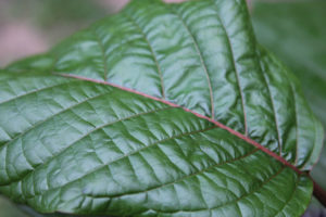 Recognizing and treating kratom addiction