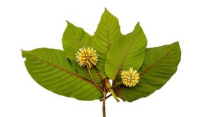 Users guide on kratom